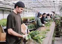 Praca Holandia przy produkcji bukietów od zaraz bez znajomości języka w Bleiswijk 2021