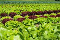 Sezonowa praca w Holandii bez języka od maja 2021 zbiory warzyw w Volkel
