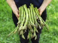 Holandia praca sezonowa dla par przy zbiorach, sortowaniu, pakowaniu szparagów, Roermond