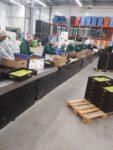 Od zaraz fizyczna praca w Holandii bez języka przy sortowaniu-pakowaniu owoców i warzyw, Haga