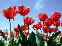Praca w Holandii dla par przy produkcji bukietów kwiatowych od zaraz, Doetinchem