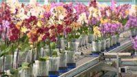Ogrodnictwo praca Holandia od zaraz przy kwiatach – orchideach, Monster 2021
