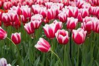 Holandia praca w ogrodnictwie bez języka na polu przy zbiorach tulipanów, Noordwijkerhout