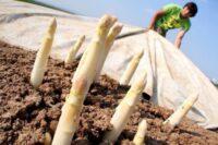 Bez języka Holandia praca sezonowa zbiory szparagów 2021 od zaraz w Terheijden