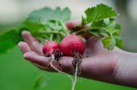 Dam pracę w Holandii w ogrodnictwie od zaraz w 's-Gravenzande
