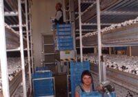 Zbiory pieczarek dam sezonową pracę w Holandii od zaraz bez języka, Ammerzoden