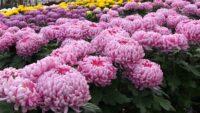 Sadzenie chryzantem dam pracę w Holandii w ogrodnictwie bez języka, Westland