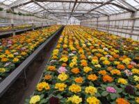 Oferta pracy w Holandii od zaraz bez języka w ogrodnictwie w szklarni z kwiatami, Haga i Rotterdam