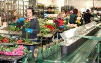Od zaraz bez języka fizyczna praca Holandia przy układaniu bukietów kwiatowych, Bleiswijk