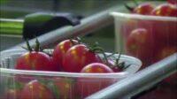 Oferta pracy w Holandii od zaraz pakowanie pomidorów koktajlowych, Grubbenvorst