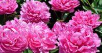Praca w Holandii od zaraz w ogrodnictwie przy ścinaniu kwiatów piwonii, Zaandam