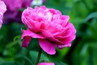 Ogrodnictwo Holandia praca przy kwiatach od zaraz ścinanie piwonii, Wormerveer