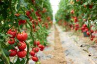 Praca Holandia od zaraz w ogrodnictwie przy pomidorach, Haga 2021
