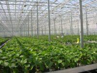 Praca w Holandii od zaraz w ogrodnictwie – pracownik szklarni (szkółka roślin), Kaatsheuvel