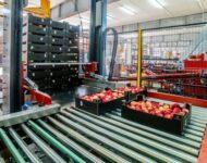 Sortowanie owoców i warzyw fizyczna praca w Holandii bez języka, Haga 2021