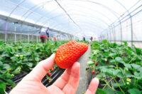 Bez znajomości języka sezonowa praca Holandia zbiory truskawek od zaraz w Horst