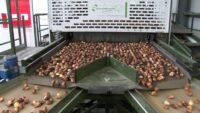 Bez znajomości języka dam sezonową pracę w Holandii sortowanie cebulek w Zaandam