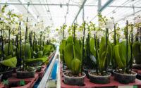 Ogrodnictwo praca w Holandii przy kwiatach – orchideach w Bleiswijk od zaraz