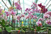 Westland, praca w Holandii bez języka dla par przy kwiatach w szklarni (orchidee, chryzantemy itp)