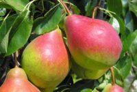 Zbiór jabłek i gruszek sezonowa praca Holandia od września 2021 w Goes