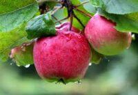 Bez języka dam sezonową pracę w Holandii zbiory jabłek i gruszek 2021