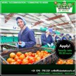 Fizyczna praca w Holandii bez znajomości języka od zaraz sortowanie owoców i warzyw, Westland 2021