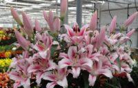 Ogrodnictwo praca Holandia 2021 bez języka przy kwiatach – łebkowaniu lilii, Stramproy