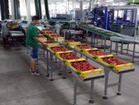 Praca Holandia przy pakowaniu owoców od zaraz także dla par bez języka, Venlo