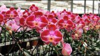 Bez języka praca w Holandii w ogrodnictwie przy kwiatach-orchideach od zaraz, Westland