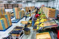 Fizyczna praca w Holandii od zaraz bez języka przy sortowaniu warzyw i owoców, Schiedam