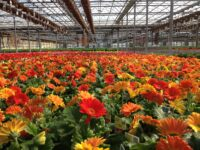 Od zaraz w ogrodnictwie praca w Holandii przy kwiatach dla 2 osób, Uden