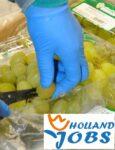 Haga praca Holandia na produkcji bez języka przy pakowaniu-sortowaniu owoców i warzyw