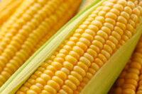 Praca Holandia bez języka pakowanie i sortowanie kukurydzy, Etten-Leur