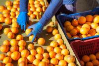 Od zaraz dam pracę w Holandii bez języka przy sortowaniu owoców cytrusowych, Haga