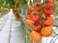 Sezonowa praca w Holandii od zaraz bez języka przy zbiorze pomidorów szklarniowych, De Lier