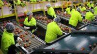 Fizyczna praca Holandia bez języka od zaraz sortowanie-pakowanie owoców, Poeldijk