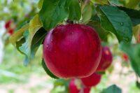 Holandia praca sezonowa dla par zbiory jabłek i gruszek bez języka 2021 wrzesień w Dronten