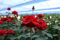 Ogrodnictwo praca Holandia przy kwiatach-różach bez języka w Pijnacker