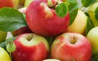 Zbiór jabłek i gruszek sezonowa praca w Holandii bez języka od zaraz, Goes, Houten, Dronten